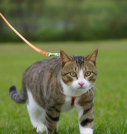 tiger-cat-walking
