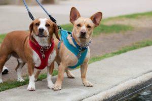 dog-walking-harness